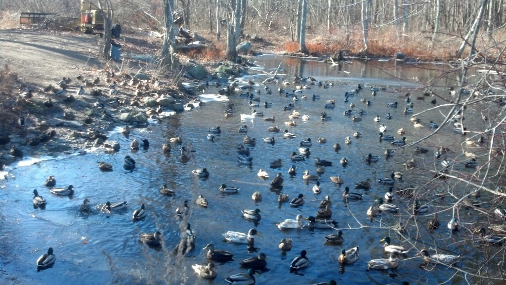 LOTS of ducks, from Friday's 10 miler