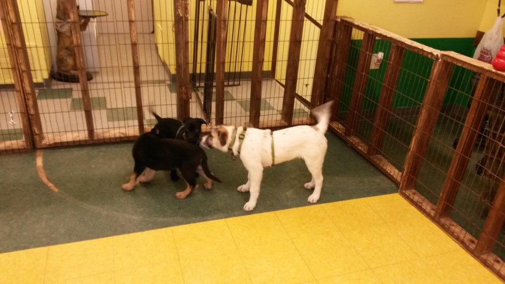 Isaac goes to puppy class,  He is the biggest.  Strange:  He is not crazed during open play, but the moment he needs to stay still with us- IT IS HIS WORST TIME EVER. WIGGLES.